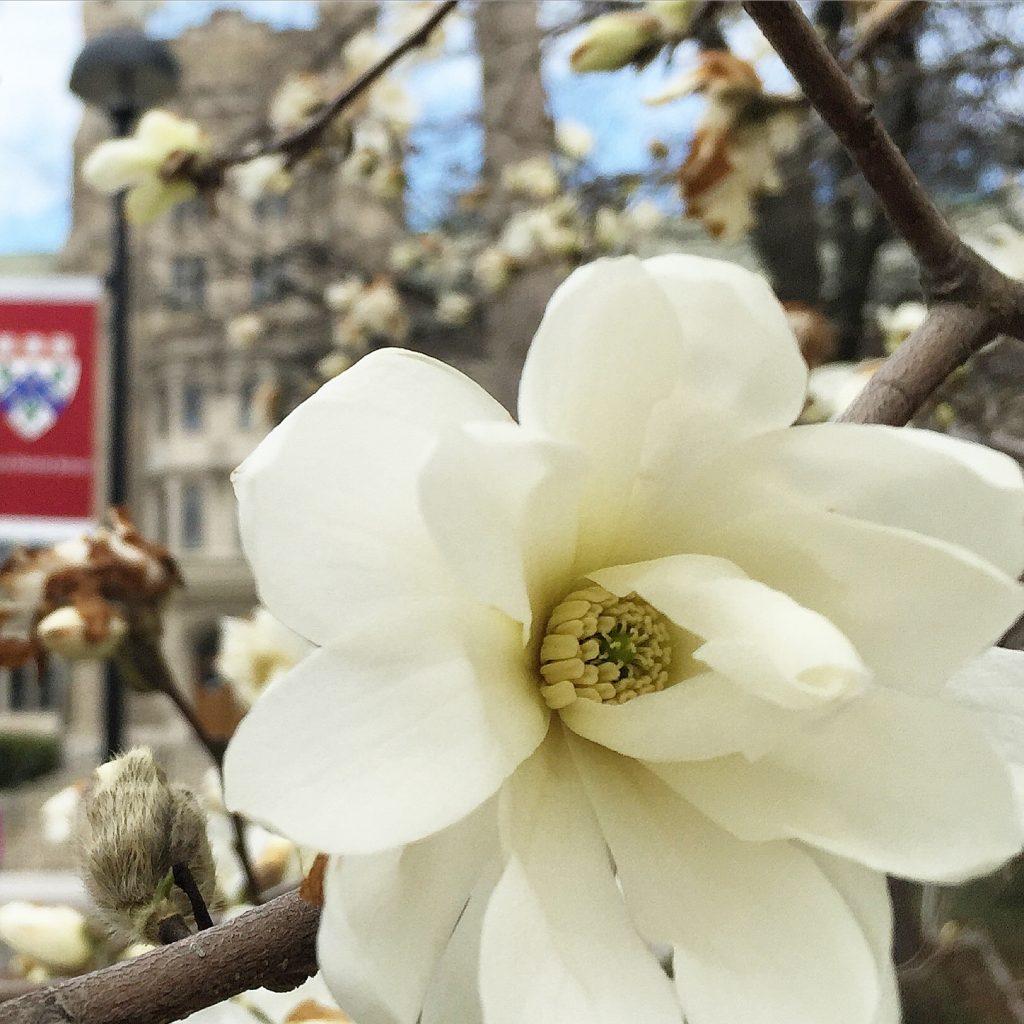 Blooming flower in front of Harvard Divinity School